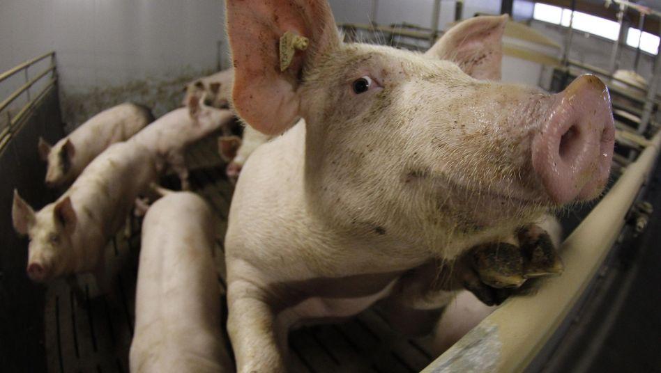 """Schwein auf einem Hof in Bockel: """"Das werden Sie nie zu 100 Prozent ausschließen können"""""""