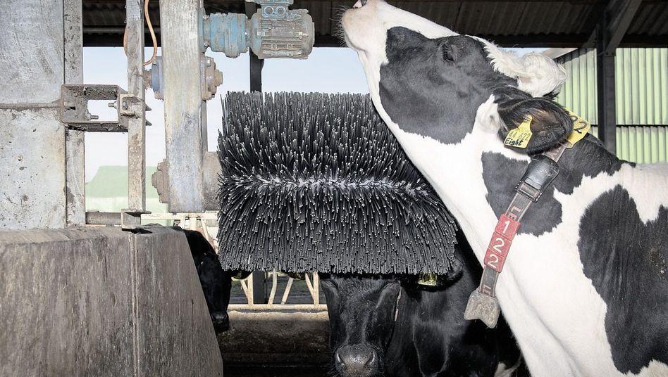 Rubbeln, massieren, scheuern: Die Schwarzbunten lieben die Rundbürste von Betebe.
