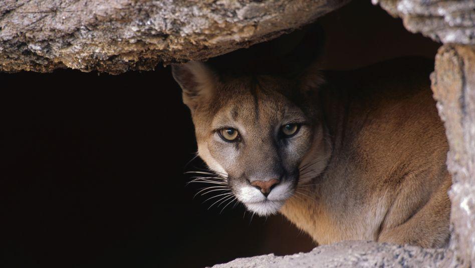 Puma auf der Pirsch (Archivbild): Effektiver Fleischlieferant für zahlreiche Nutznießer