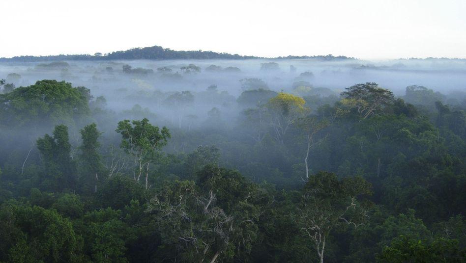 Amazonas-Regenwald: Seitdem die großen Weidetiere fehlen, verteilen sich Nährstoffe weitaus schlechter (Archivbild)