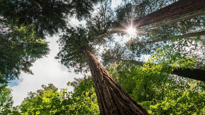 Exotenwald in Weinheim: Kopf in den Nacken unter Küstenmammutbäumen