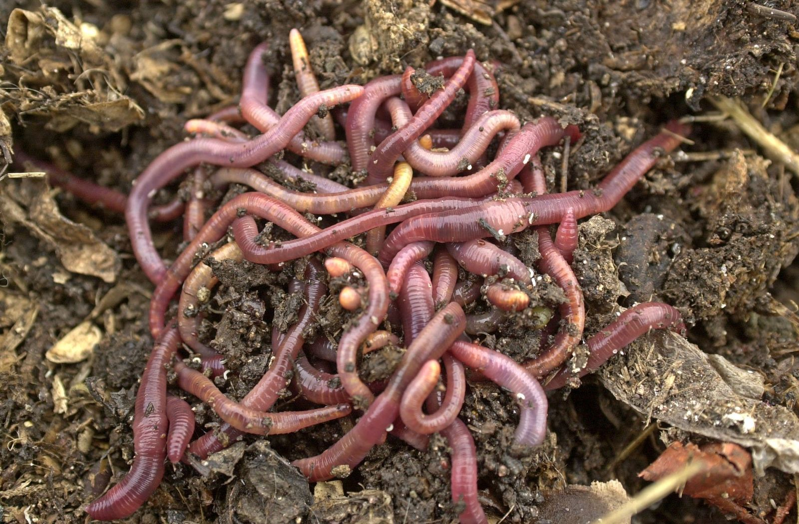 Regenwürmer