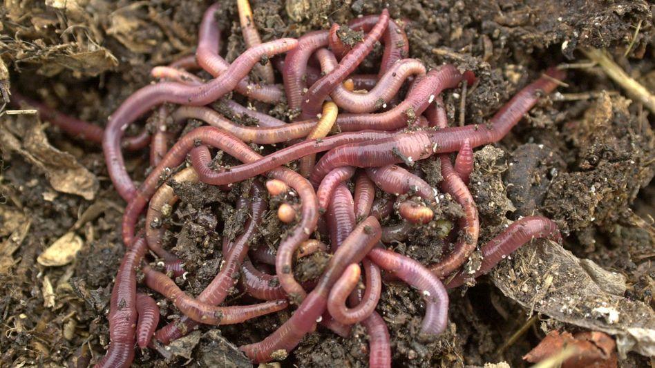 Regenwürmer krabbeln über Biokompost