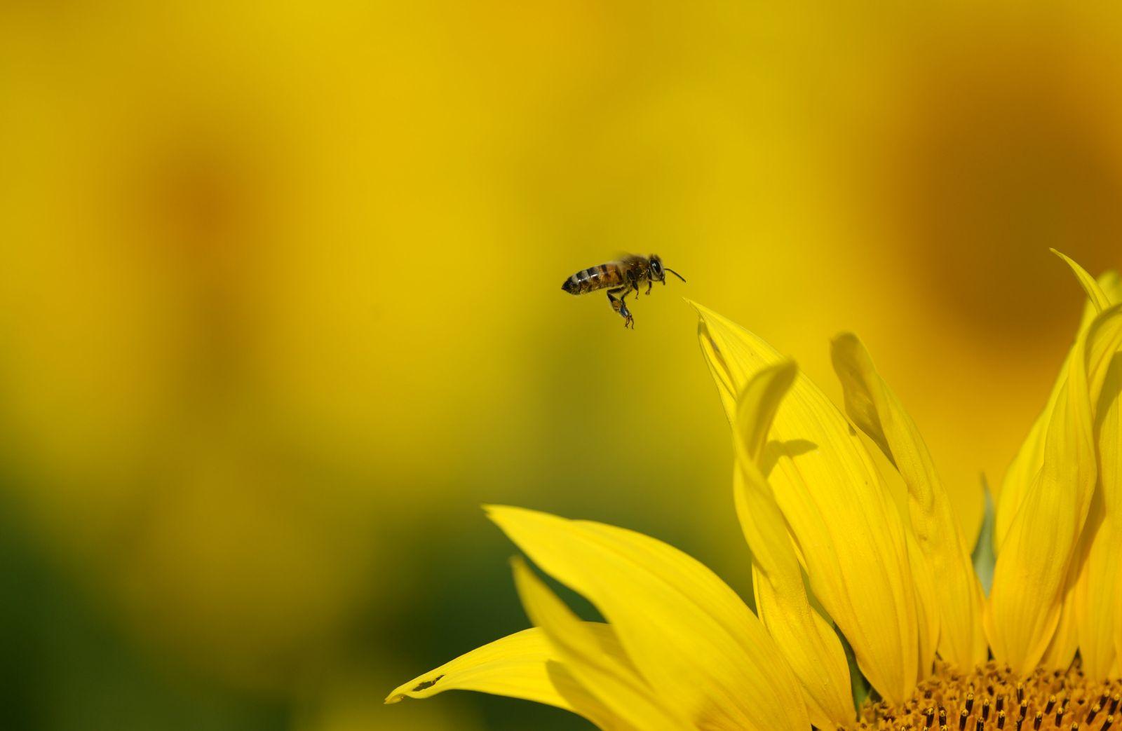 Biene / Sonnenblume