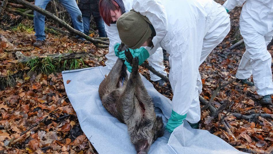 In Sachsen wird bereits der Ernstfall geprobt: Schweinepest führt meist in sieben bis zehn Tagen zum Tod der Tiere