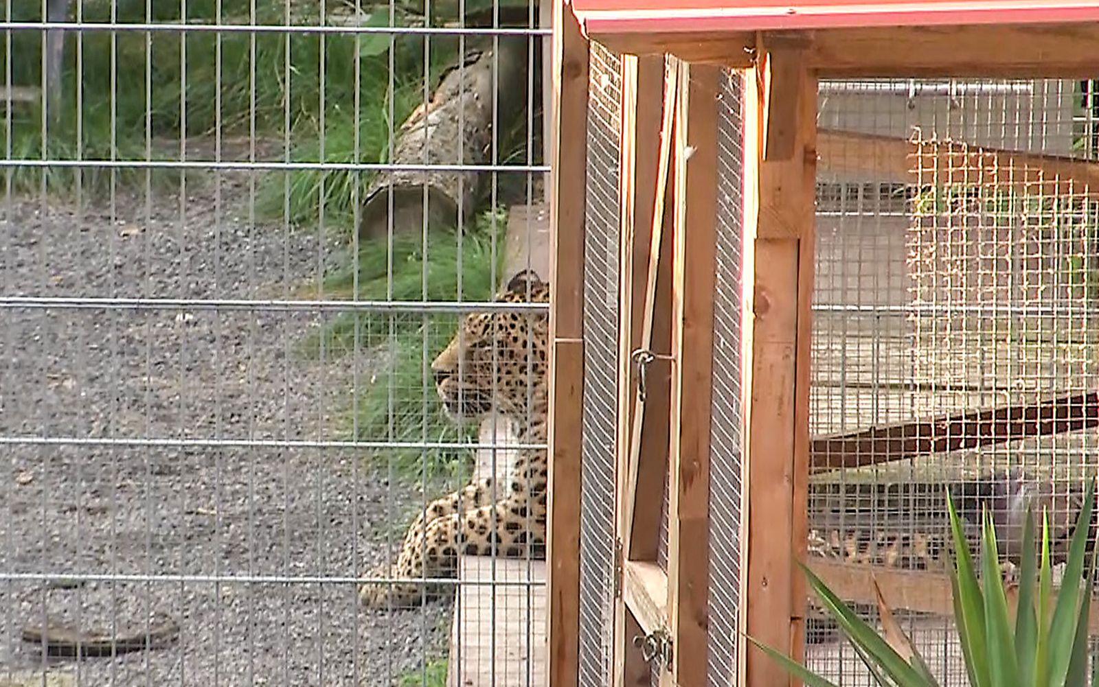 Frau bei Fotoshooting im Gehege von Leopard schwer verletzt