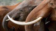 Drei Kartelle beherrschen den illegalen Elfenbeinhandel