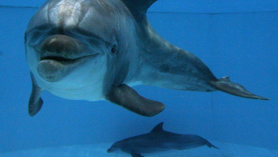 Delfine im Nürnberger Zoo (Archiv): Langer Streit um Zucht und Haltung