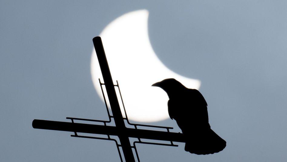 Ohne Schutzbrille keine Sonnenfinsternis-Beobachtung: Der Vogel macht es richtig