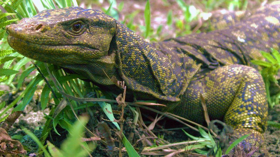 Bis zu drei Meter lang und 70 Kilogramm schwer wird der in Indonesien beheimatete Komodowaran