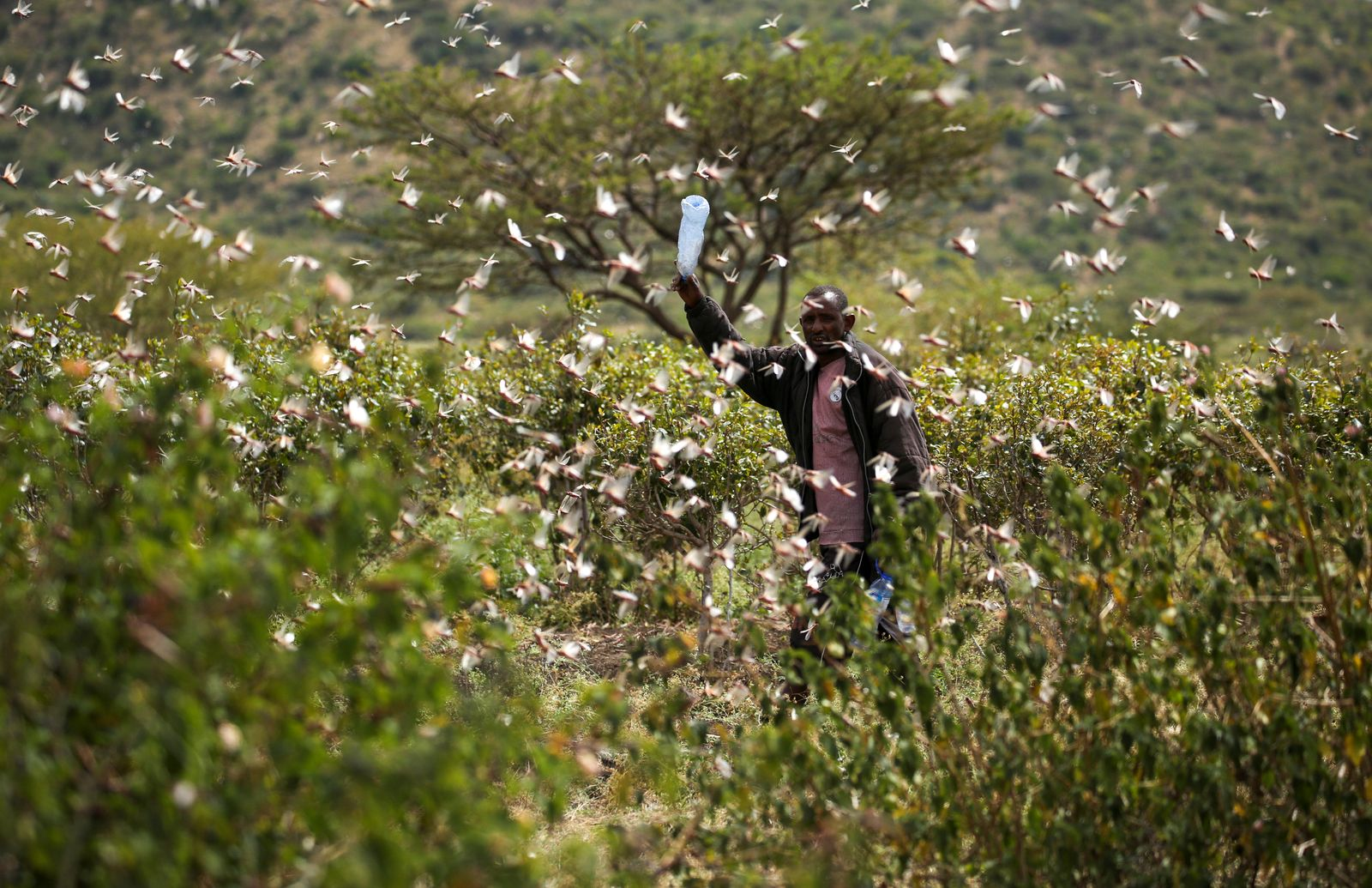 An Ethiopian farmer attempts to fend off desert locusts as they fly in his khat farm on the outskirts of Jijiga in Somali region
