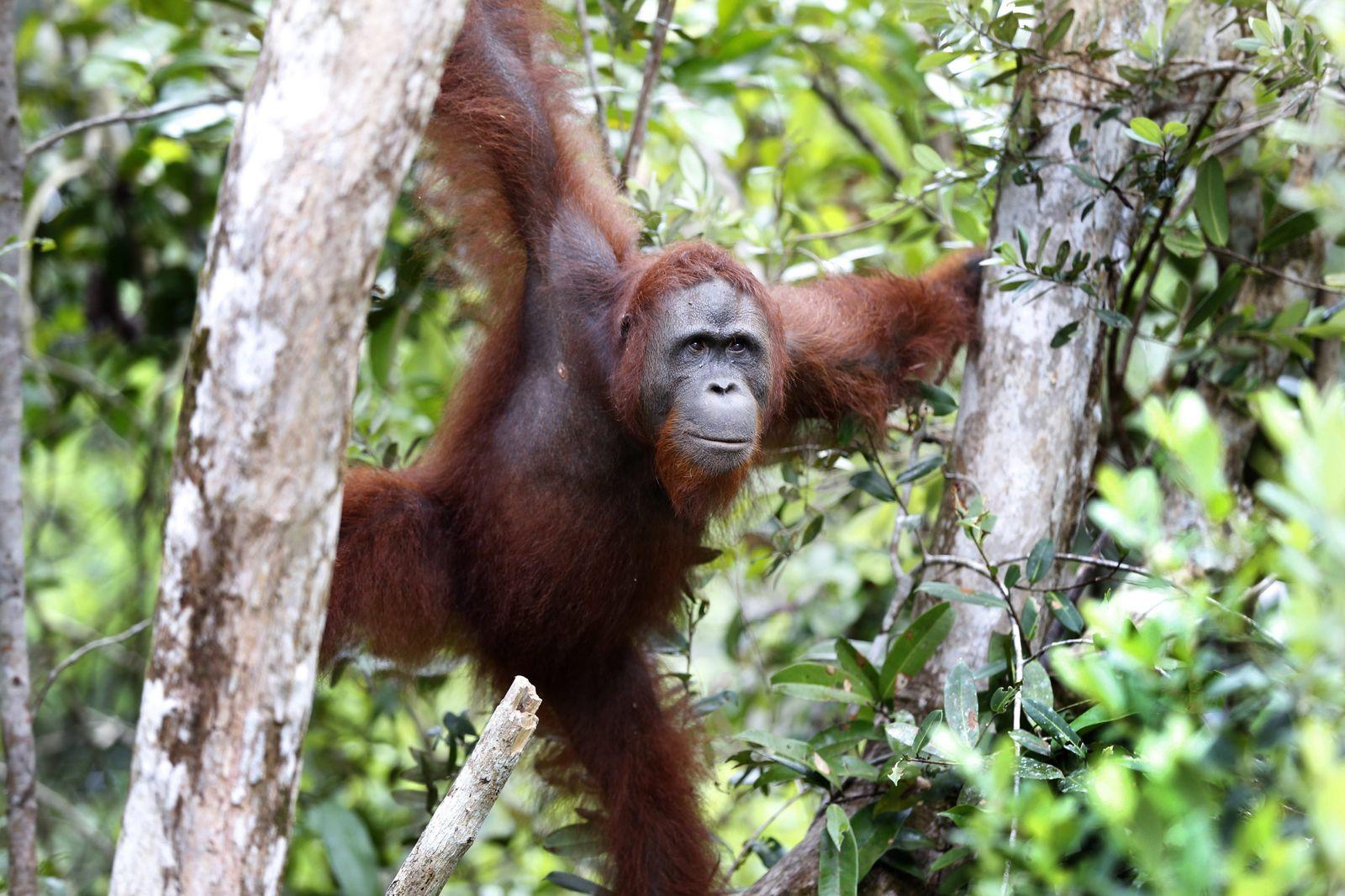 Indonesia Orangutan