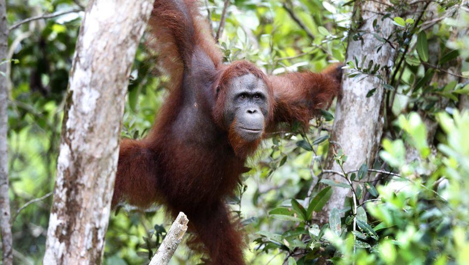 Orang Utan in einem Nationalpark im indonesischen Teil Borneos (im September 2013)