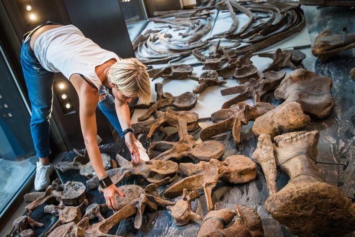 Dino-Puzzle, etwa 200 Teile. Triceratops »Big John« wird in Paris zusammengesetzt