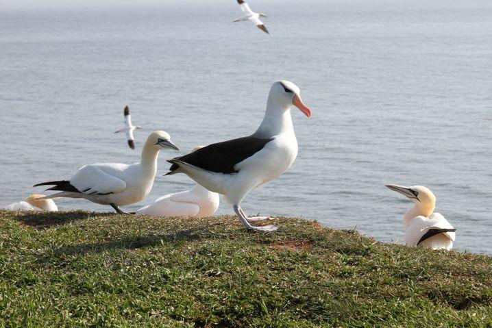 Seltener Gast auf Helgoland: Der Albatros (M.) sucht die Nähe der Basstölpel
