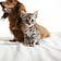 Coronavirus konnte Katzen infizieren – Hunde nicht