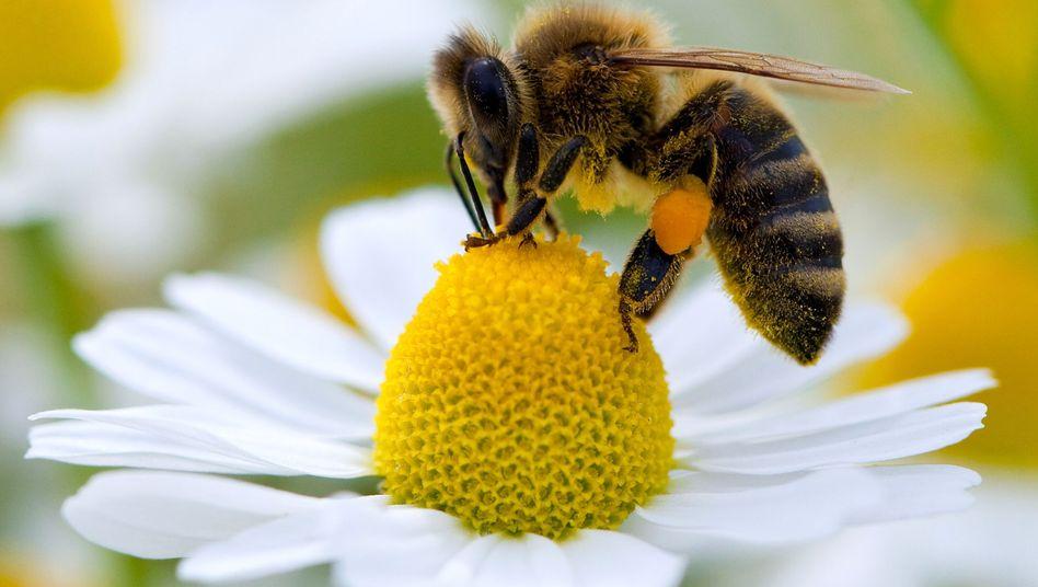 Biene auf einer Blüte (Archiv)