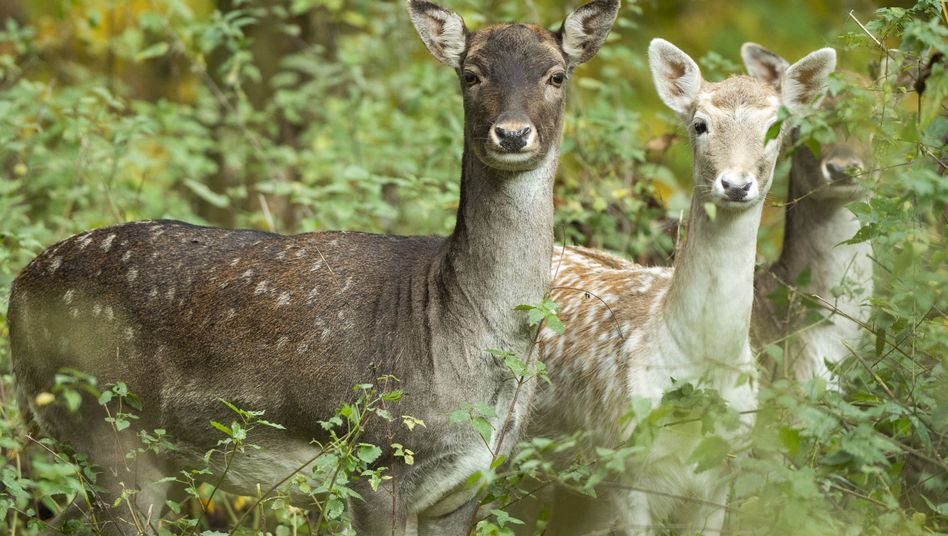 Damwild: Gehört in Deutschland zu den populärsten Wildbret-Angeboten