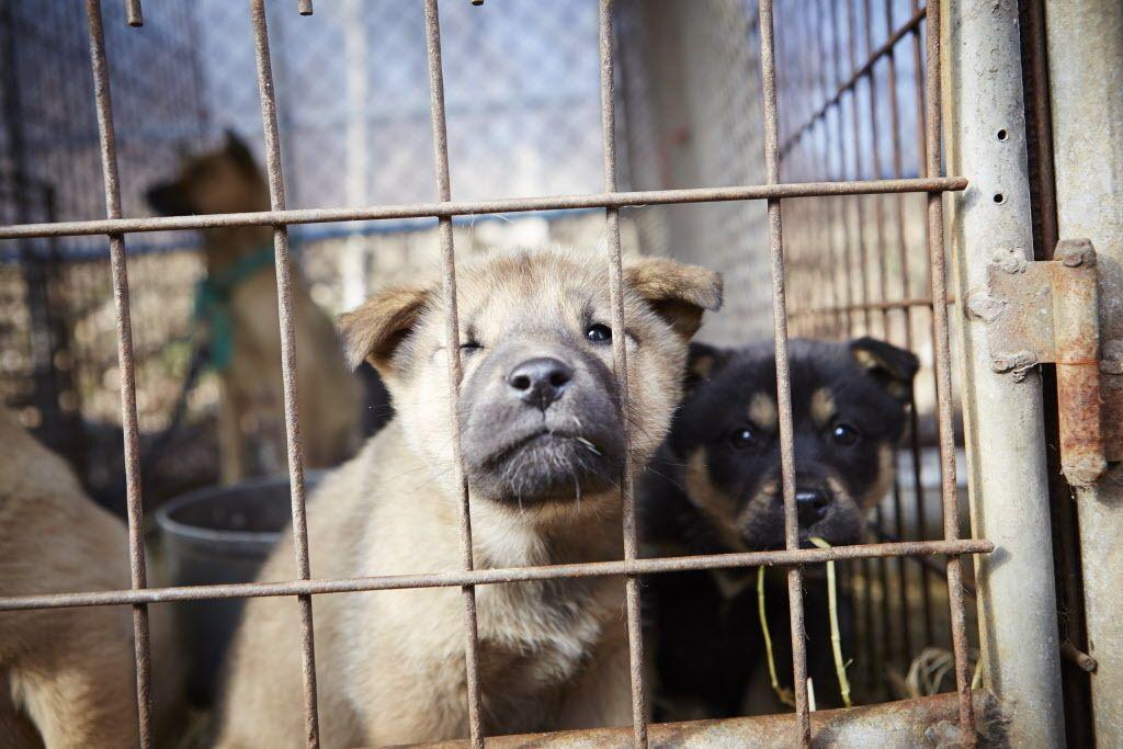 South Korea Dog Meat Rescue