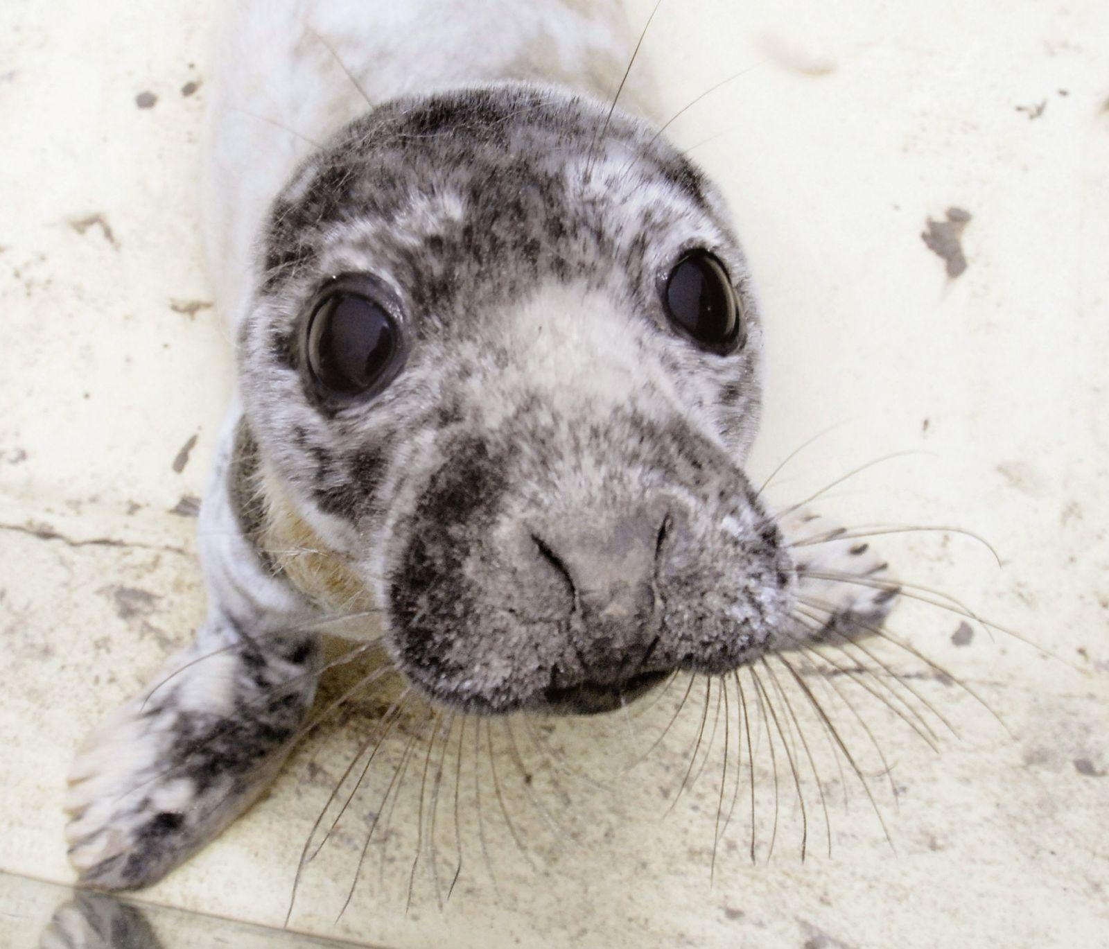 Kegelrobbenbaby auf Helgoland gefunden