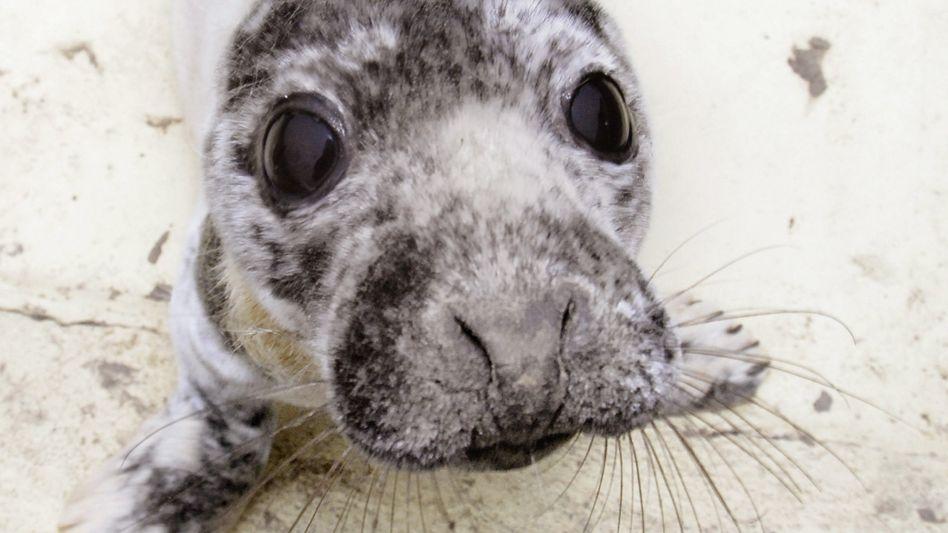 Ein Robbenbaby in der Seehundstation Friedrichskoog (Archivbild)