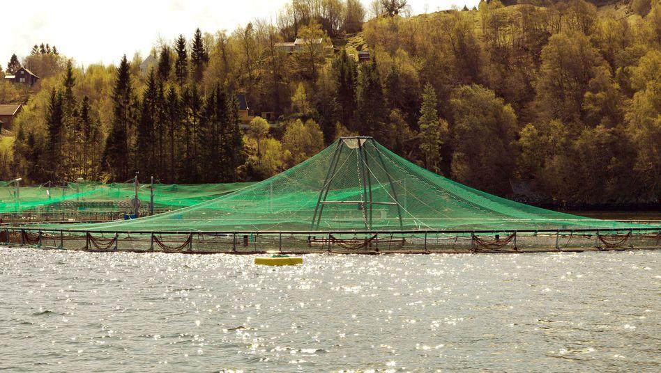 Aquafarm: Die meisten Zuchtlachse stammen aus Aquafarmen in Norwegen