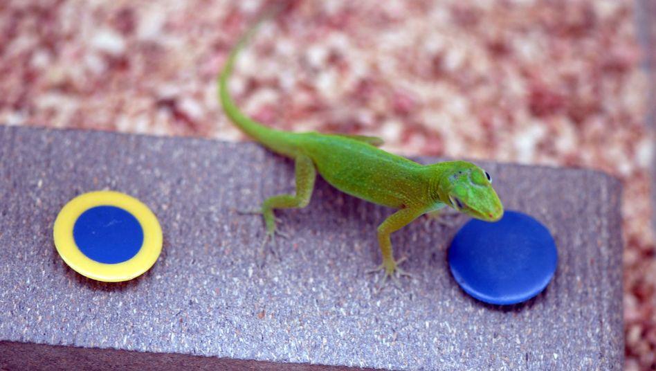 Echse beim Test: Reptilien kommen ohne Probleme an den versteckten Wurm