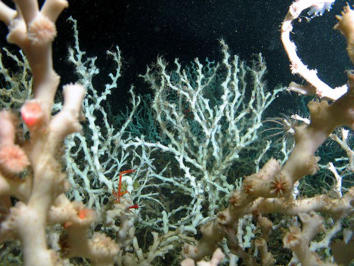 Kaltwasserkorallen und Seelilien im Westatlantik
