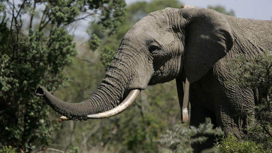 Schützenswerter Elefant: Ab 2014 dürfen Touristen in Botswana nicht mehr jagen