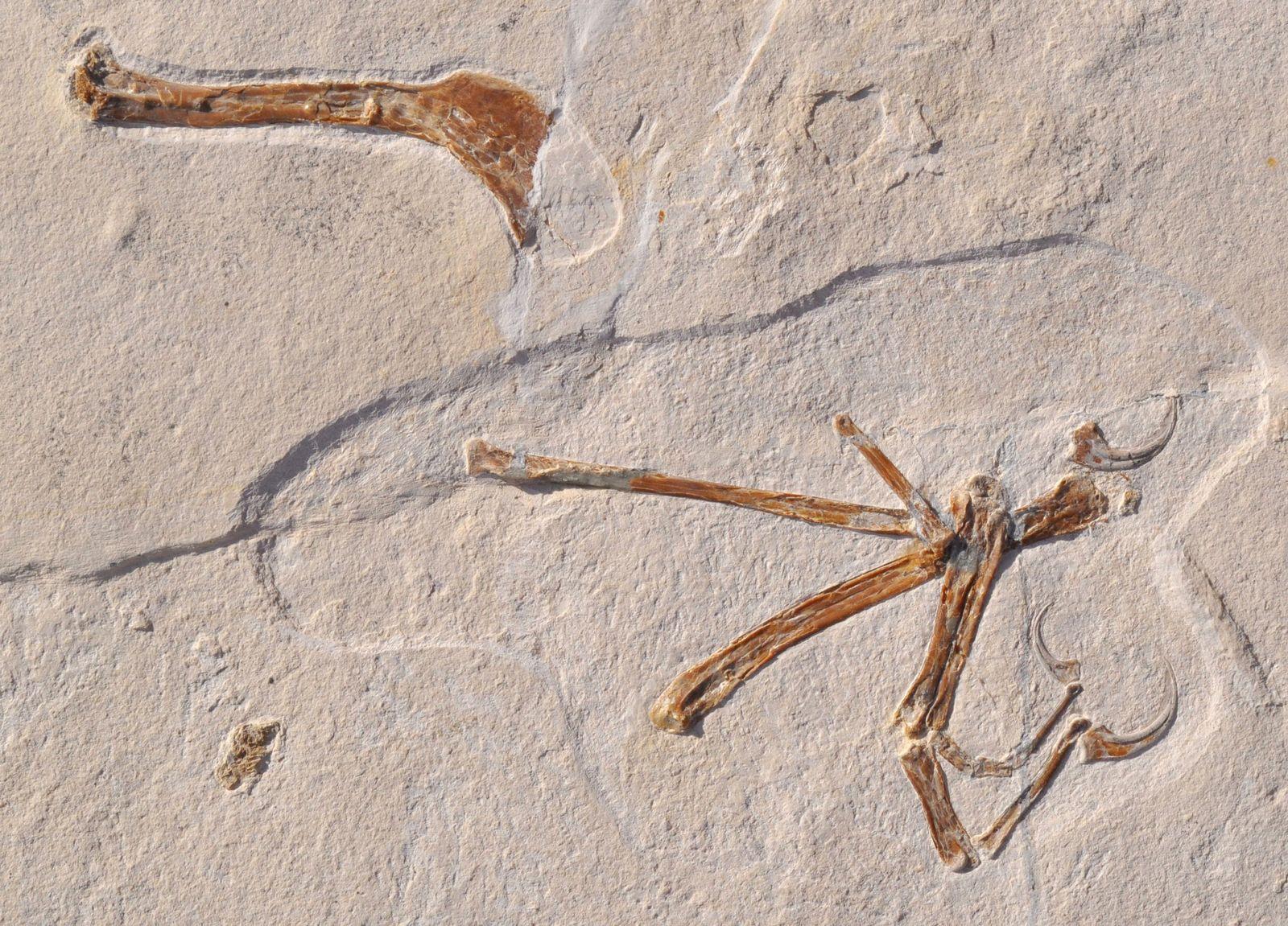 EINMALIGE VERWENDUNG Archaeopteryx hatte Gesellschaft:Weiterer Urvogel entdeckt