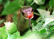 Schlangen können fliegen: Die wellenförmigen Bewegungen dieses am Boden lebenden Exemplars macht die Baumschlange in der Luft