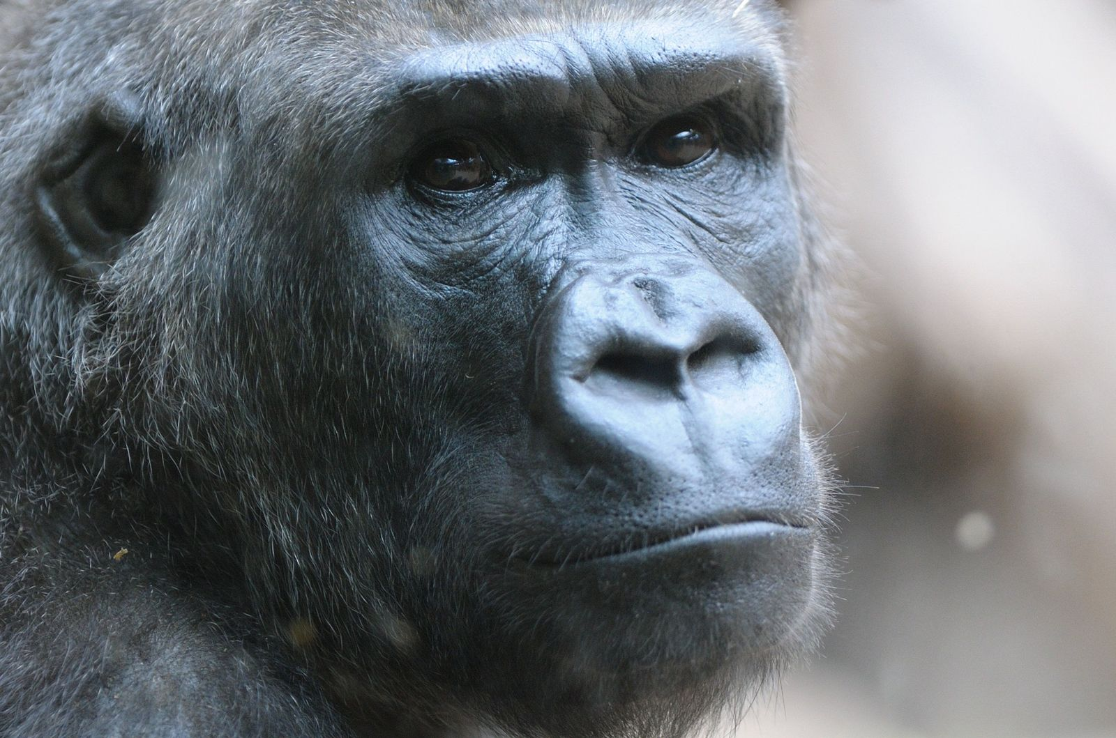 Genom / Gorilla