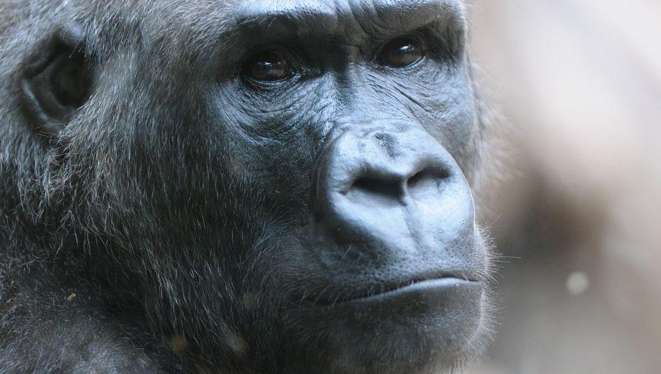 Westlicher Flachlandgorilla: Genom entziffert