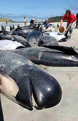 Gestrandete Wale (im August 2001 in Neuseeland): Forscher halten militärisches Sonar für verantwortlich