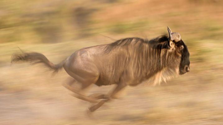Fotos aus der Serengeti: Gut gebrüllt, Löwe