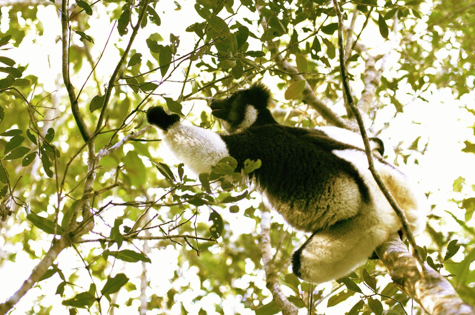 Lemuren/Madagaskar
