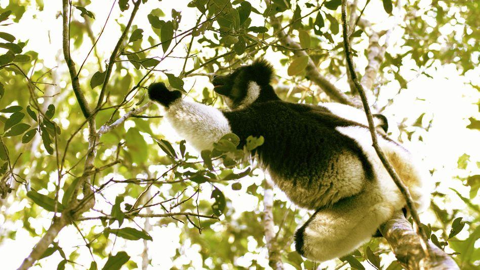 Lemuren auf Madagaskar: Vor etwa 50 Millionen Jahren auf die Insel gekommen