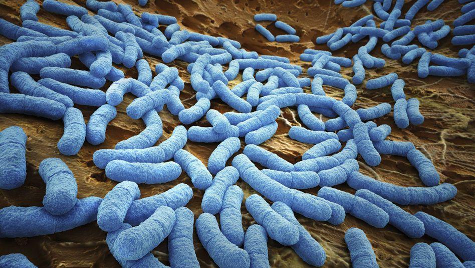 E.coli-Bakterien: Wer lebt im Darm?
