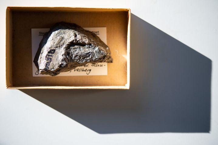 Karton mit dem Fundstück im Stuttgarter Naturkundemuseum: Entdeckt wurde das Fossil in einem Steinbruch bei Vellberg