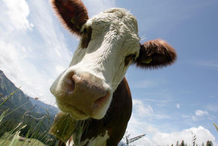 Glückliche Kuh: Molkereien rätseln, ob sie ihre Milchlaster an Gründonnerstag losschicken dürfen