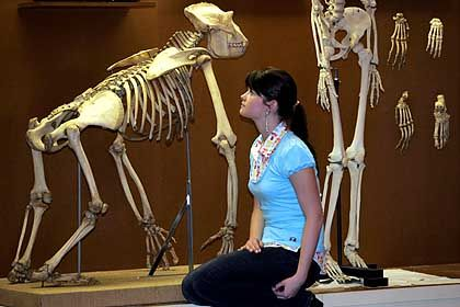 Frau mit Gorilla- und Menschenskelett (Ausstellung in Dresden): Mehrheit in USA glaubt, dass Menschen sich nicht aus früheren Arten entwickelt haben