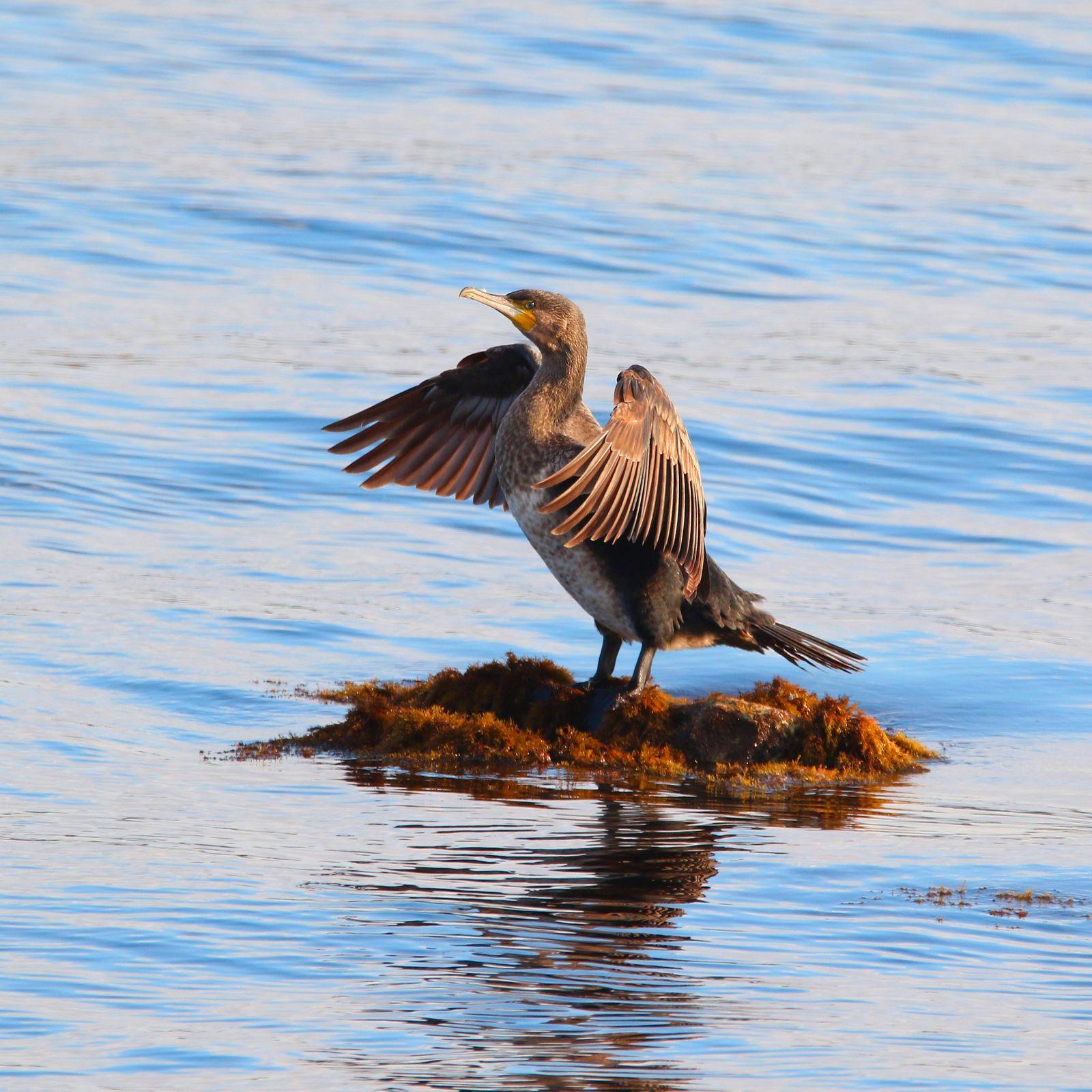 Great Cormorant in sea