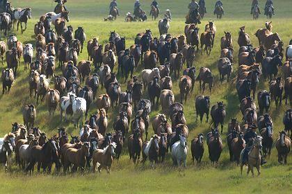 Rodeo-Pferde auf dem Weg zum Stampede-Festival in Calgary: Panik in der Herde