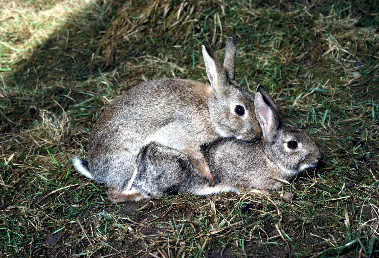 EINMALIGE VERWENDUNG Kaninchen/ Paarung