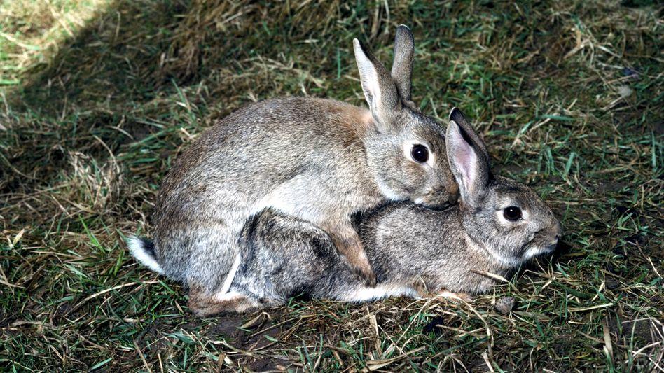 Kaninchen lüfteten das Höhepunkt-Geheimnis