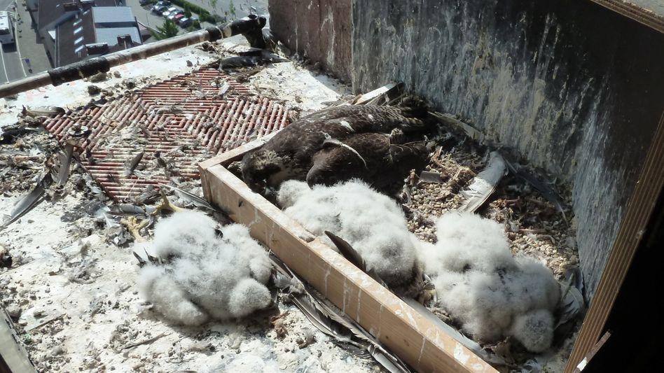 Tote Wanderfalken in ihrem Horst auf dem Nordost-Turm des Wormser Doms