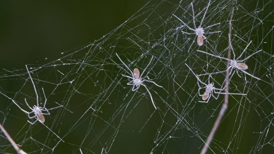 Zitterspinnen (Archivbild): Nicht alle überlebten das Experiment