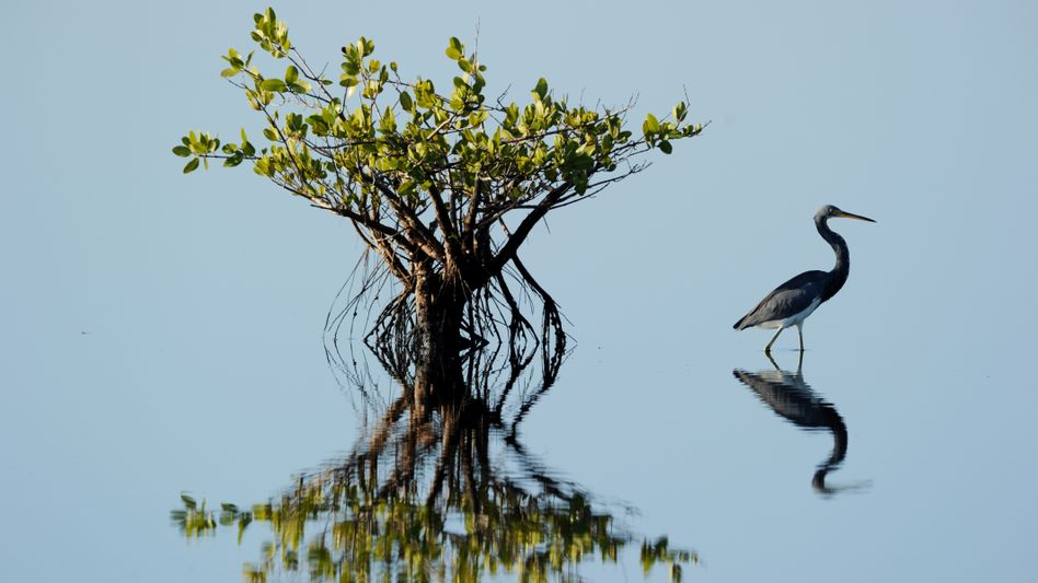 Fischreiher (in Florida): Naturschutzgebiete oft an Bedürfnissen der Menschen ausgerichtet