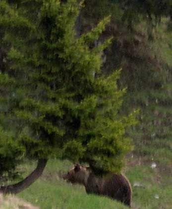 Bruno: Einer der seltenen Schnappschüsse vom Bär