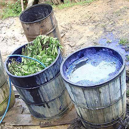 Indigo-Pflanzen: Fertig zum Einfärben der typischen Trachten